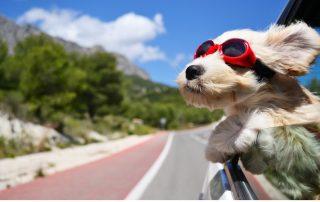 Hund fährt Auto